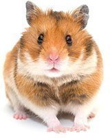 Getzoo-Hamster-Campbell-Zwerghamster-Goldhamster-Roborowski-Teddy-00